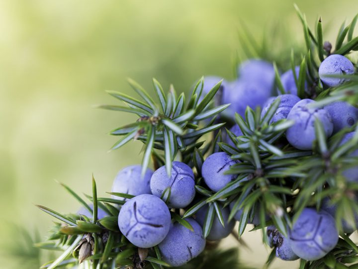 Why is juniper not even a berry?!