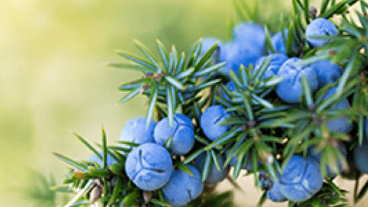 What is a juniper berry…and why is it not even a berry?!